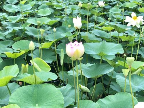 きゃっせ羽生 蓮の花